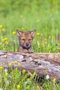 Little Brown Puppy in Field