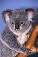 Baby Koala Holding Branch
