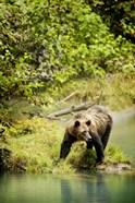 Brown Bear near Lake
