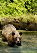 Brown Bear in Lake