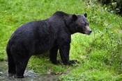 Black Bear Leaving Lake