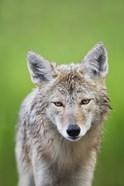 Close up of Wet Fox