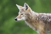 Brown Eyed Wet Fox