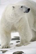 Polar Bear on Snowy Rocks