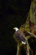 Eagle Perched on Branch