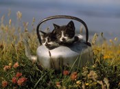 Kitten on Tea Pot in Field