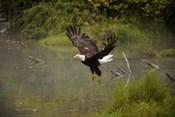 Bald Eagle Soaring over Lake