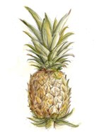 Pineapple Sketch II