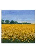 Field of Sunflowers I