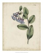 Lavender Curtis Botanicals I