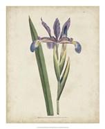 Lavender Curtis Botanicals III