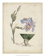 Lavender Curtis Botanicals IV