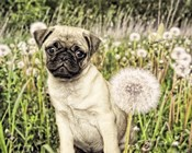 Pug with Dandelion