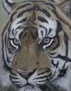 Sumatra Tiger Face