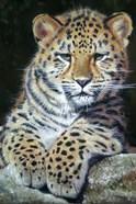 Amur Leopard Cub 2