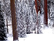Pines in Winter, California 95