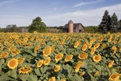 Sunflowers & Barn, Owosso, MI 10