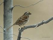 White Throat Sparrow