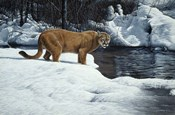 Waters Edge - Cougar