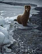 Icy Creek- Mink