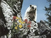 Young Marmot