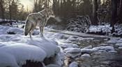 Winter Creek - Coyote