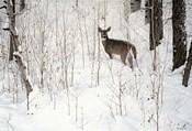 Deep Snow- Whitetail
