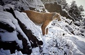 Winter Lookout- Cougar