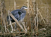 Early Spring - Great Blue Heron