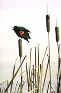 Early Arrival- Red- Winged Blackbird
