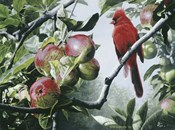 Cardinal And Apples