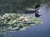Loon And Lilies