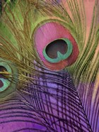 Peacock Candy III