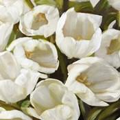 Bianco I