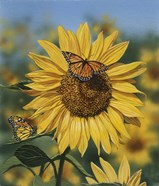 Sunflower/Butterflies