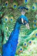 Royally Blue II