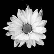 White Daisy I