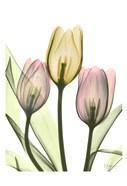 Gentle Tulips