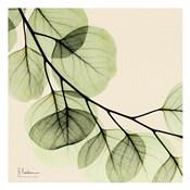 Mint Eucalyptus 2