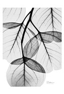 Silver Age Eucalyptus