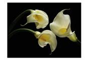 Three Calla Lillies