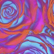 Pink Orange Blue Roses