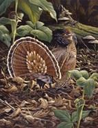 May Display - Ruffed Grouse