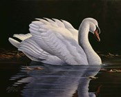 Reflection - Mute Swan