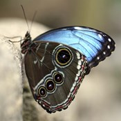 Blue Butterfly Color