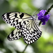 BW Butterly Purple Flower Color