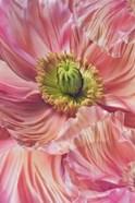Cerise Pink Poppy