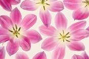 Cerise Pink Tulips