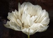 Double White Tulip