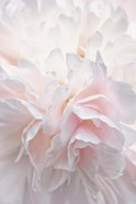 Pink Peony Petals IV